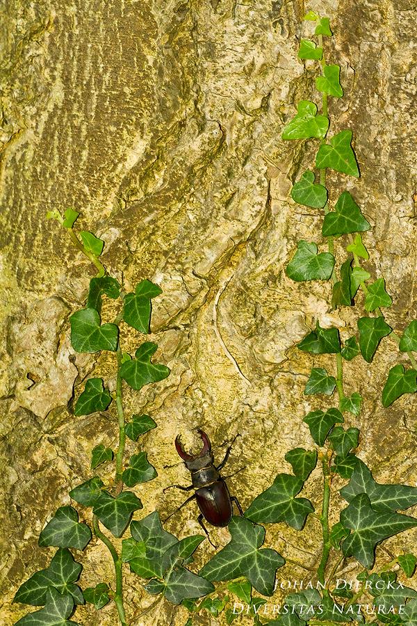 Lucanus cervus - male #1