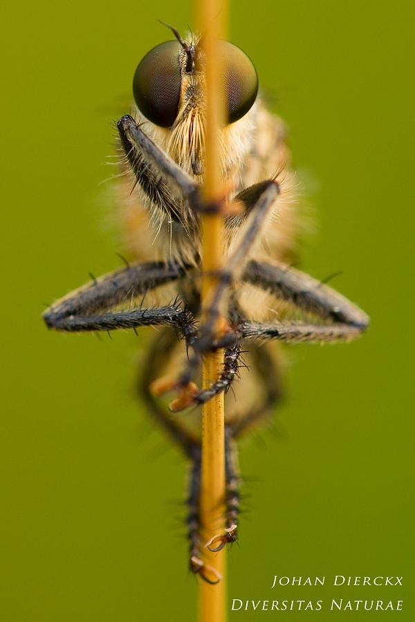 Eutolmus rufibarbis (M) - frontal