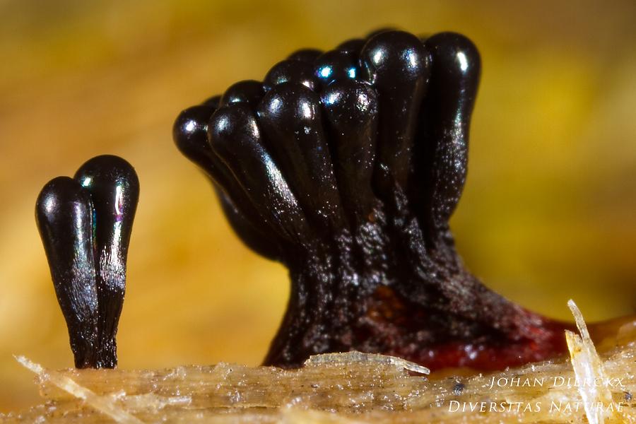 Metatrichia vesparium #2