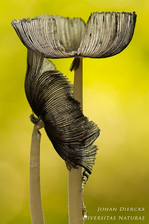 Coprinopsis lagopus #2