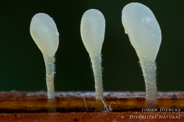 Typhula quisquiliaris #2