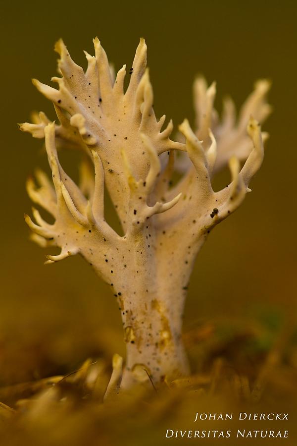 Clavulina coralloides