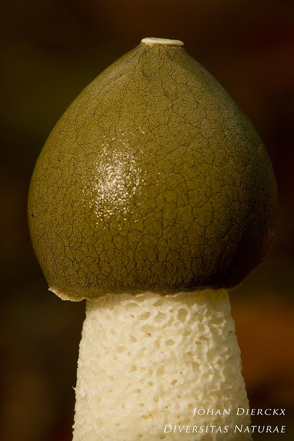 Phallus impudicus - spore mass