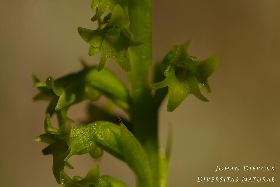 Gennaria diphylla - detail