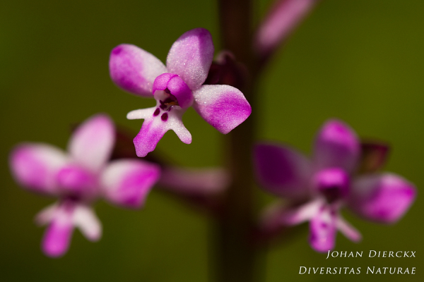 Orchis brancifortii #2