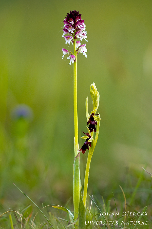 Neotinea ustulata & Ophrys insectifera