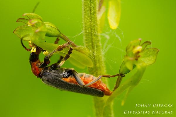 Cantharis fusca pollinating Neottia ovata