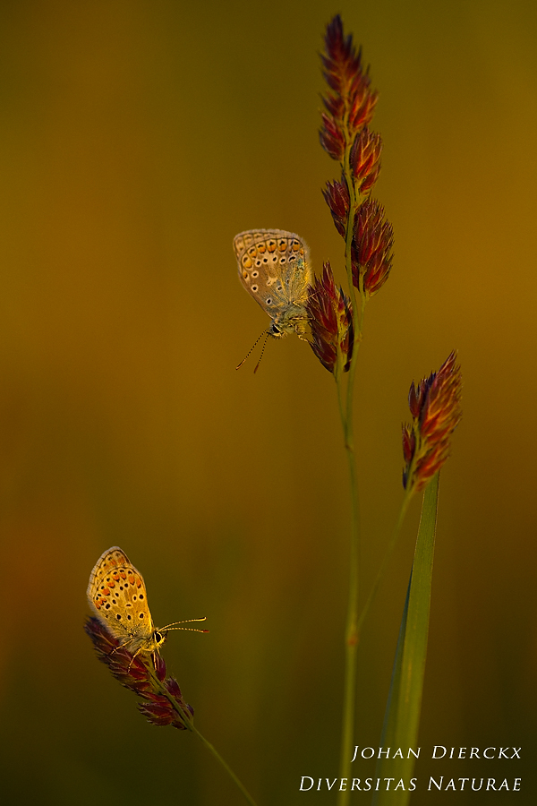 Aricia agestis & Polyommatus icarus