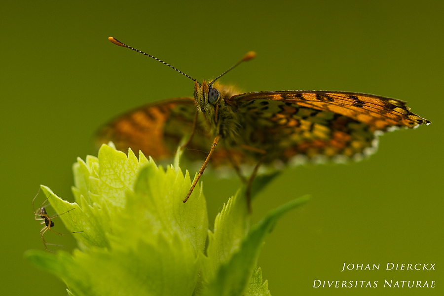 Melitaea cinxia (and the spider...)