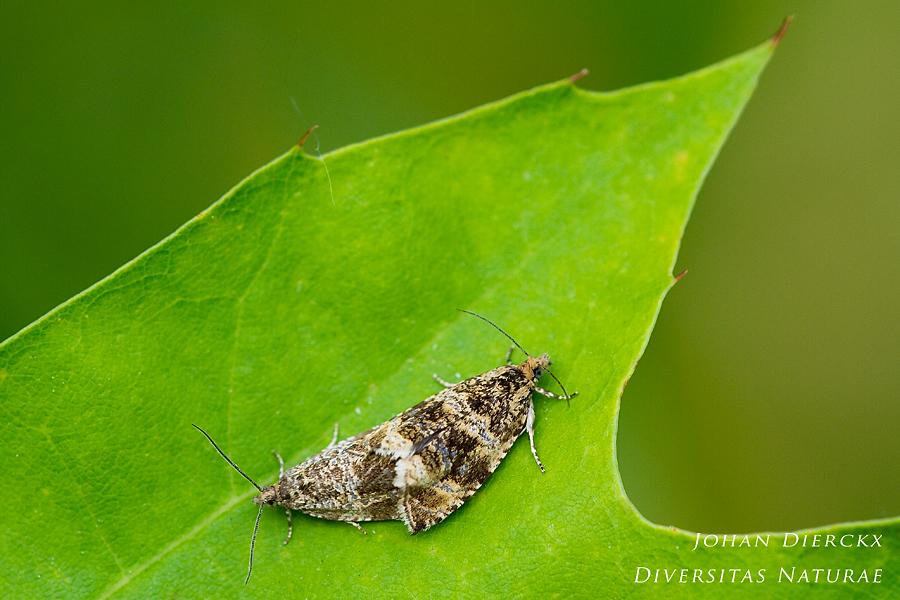 Celypha lacunana - copula