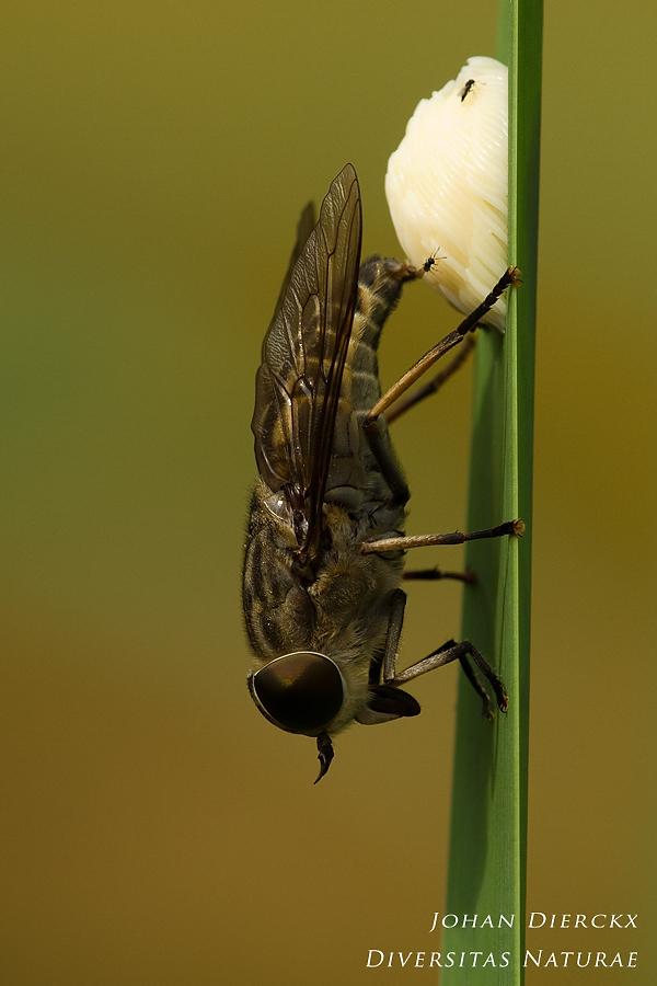 Tabanus autumnalis - oviparous female