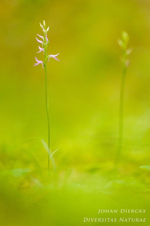 Neottianthe cucullata