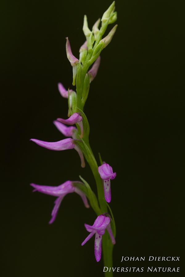Neottianthe cucullata #4