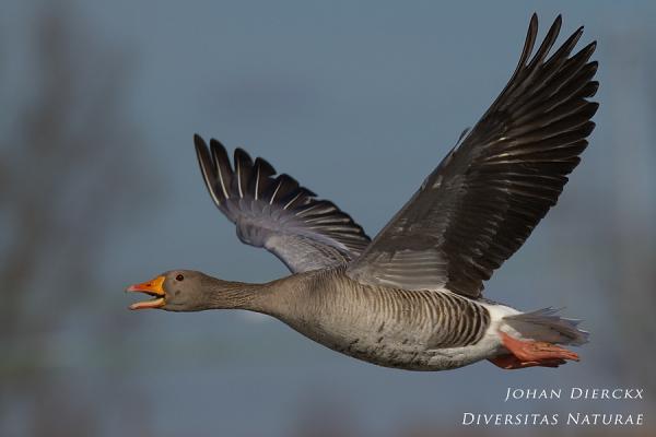 Anser anser - In flight