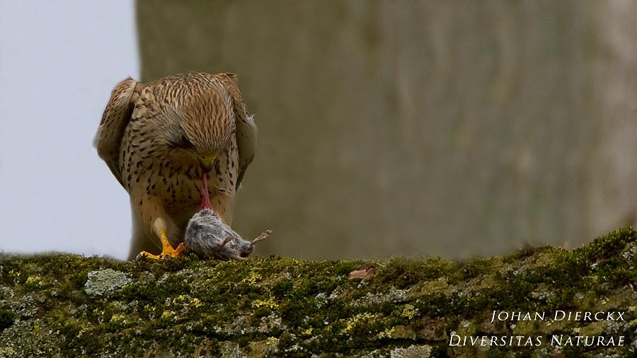 Falco tinnunculus - lunch #2