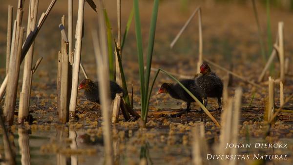 Fulica atra - Juvenile