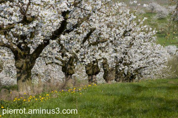 Les cerisiers sont blancs et non roses