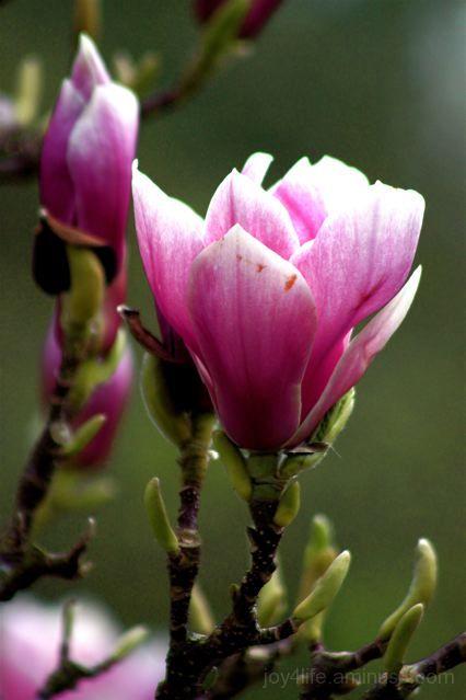Magnolia Bud II