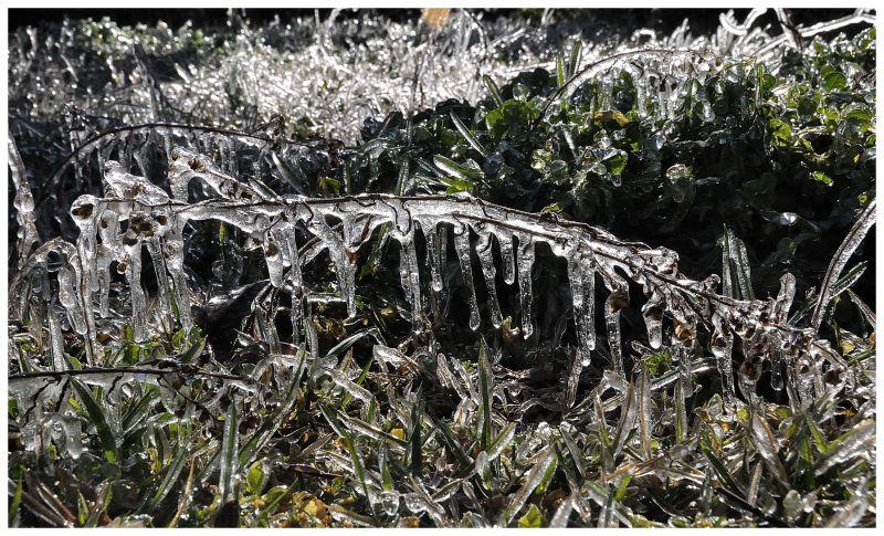 herbe gelée