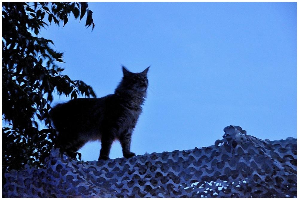 chat perché au clair de lune