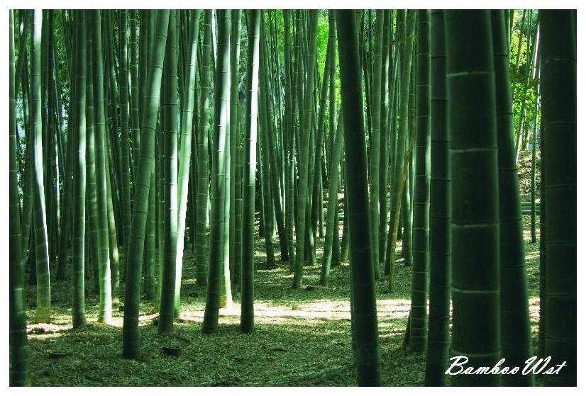 Bamboo grove in Kamakura