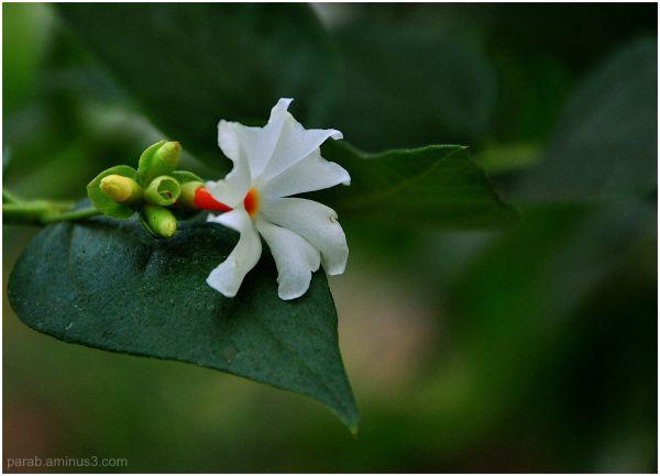 पारिजातक (Parijata...Night-flowering Jasmine)