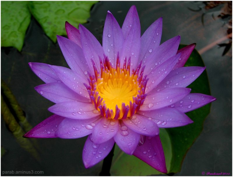 Water Lily..