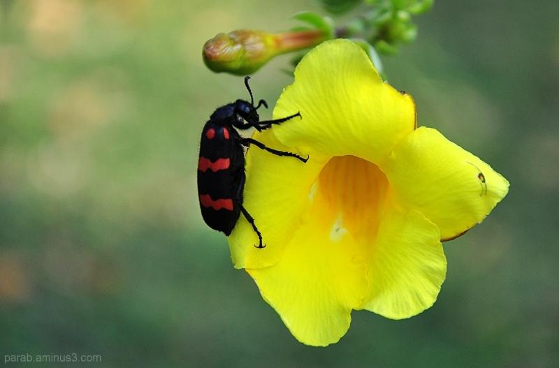 Blister Beetle...