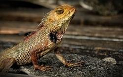 Garden lizard...