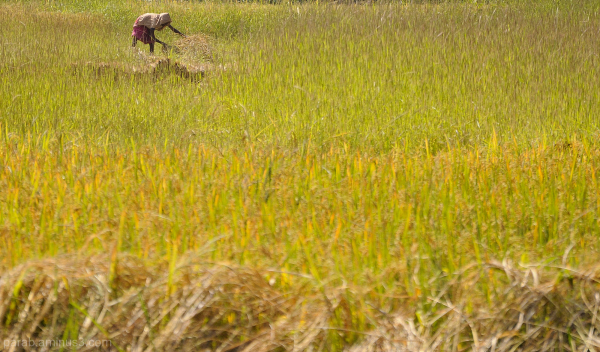 Rice field...