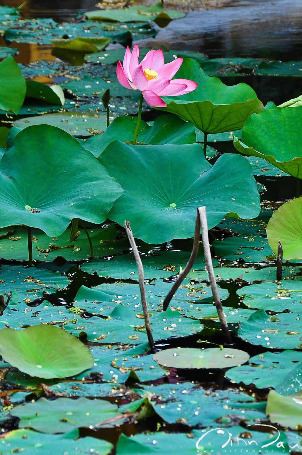 Lotus Land 01