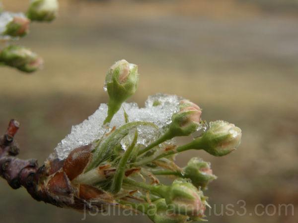 buds ice