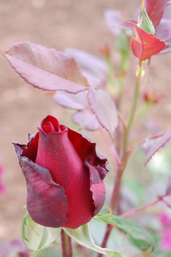 Una rosa... la más tierna del rosal