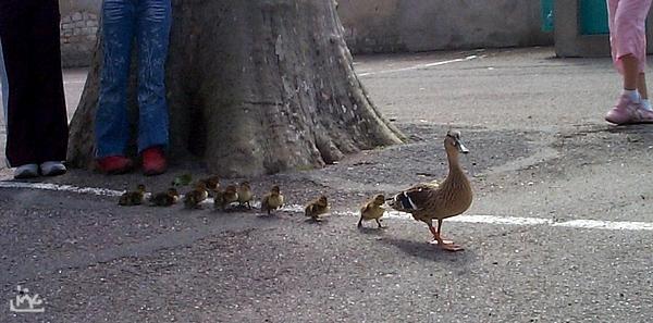 maîtresse,il pleut des canards!