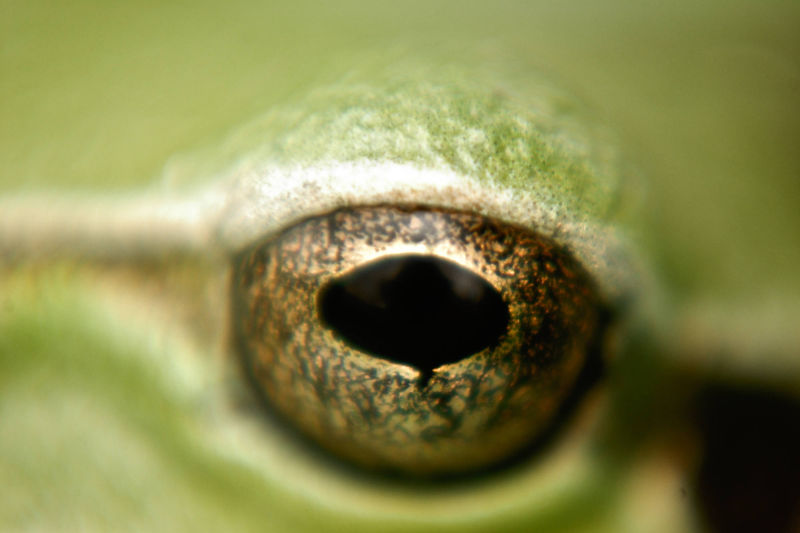 The golden eye of a frog