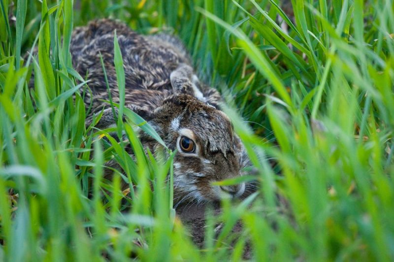 A hare in his house
