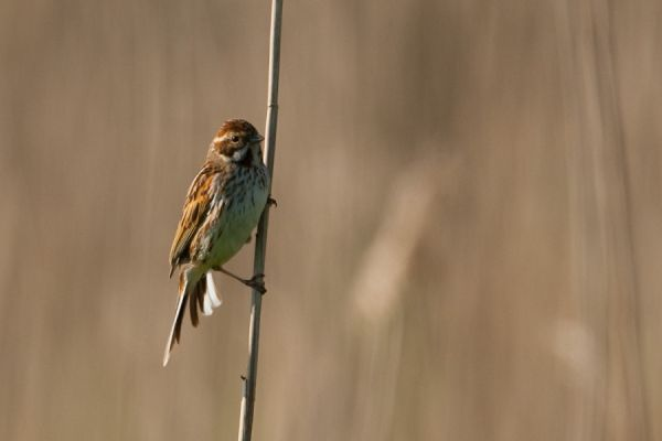 Reed bunting female