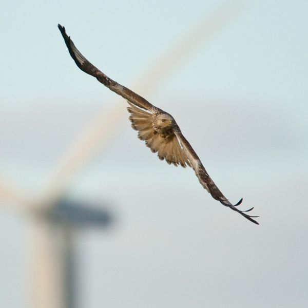 Rough-legged Buzzard...