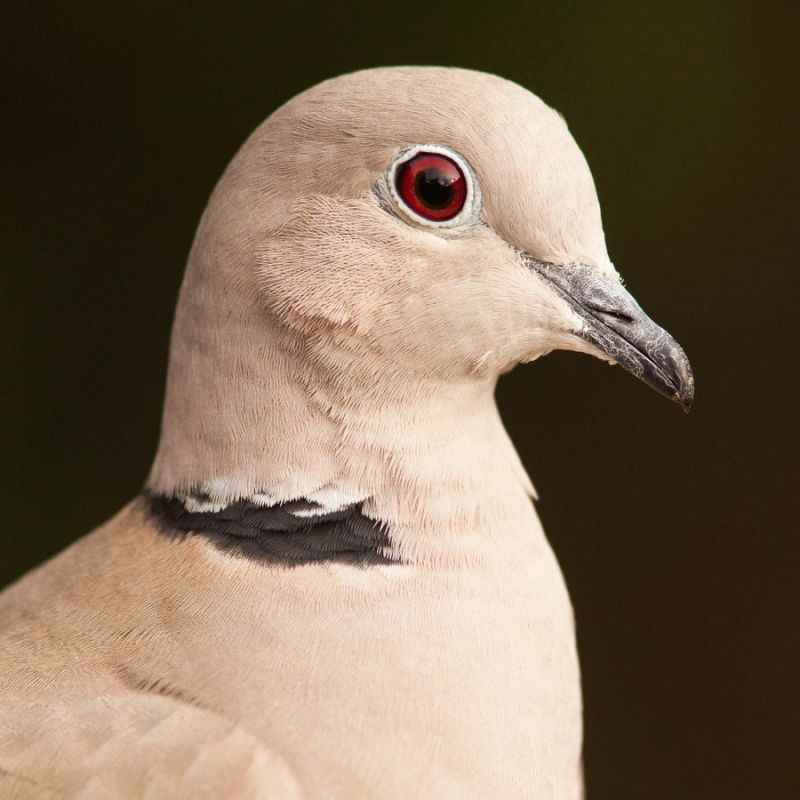 Portrait of a dove...