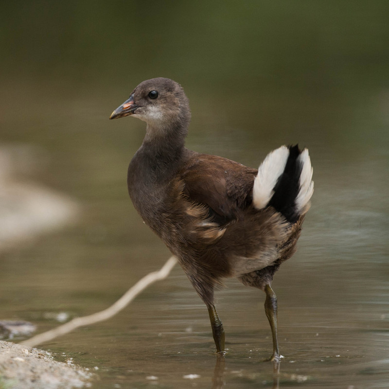 Young common moorhen...