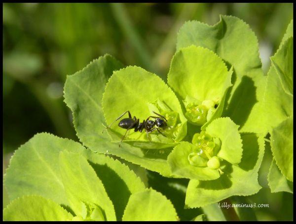Le repas de la fourmi