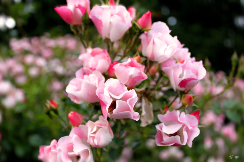Image of a Bunch of Roses