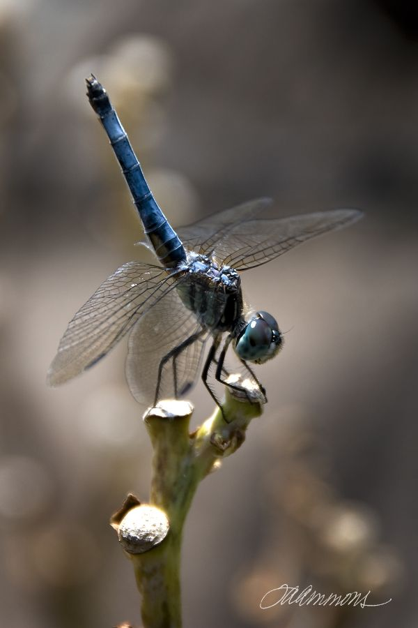 Blue Dragonfly, quote by Fanny Brice