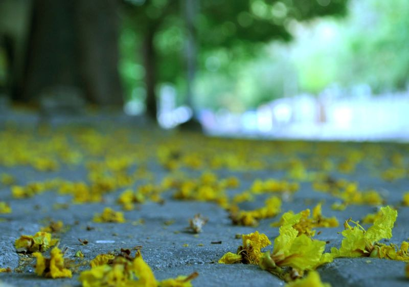 Yellow flowers on my street.....