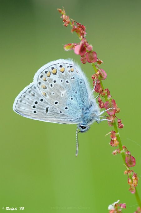 Common-Blue Icarusblauwtje macro, Nikon, Tamron