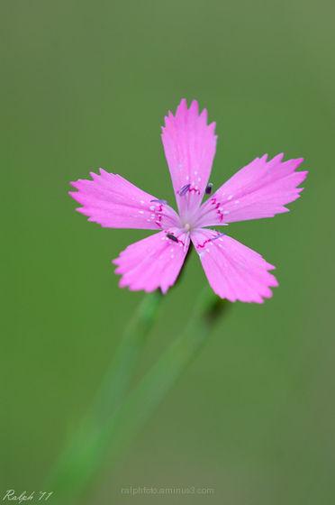 Maiden-pink,Steenanjer,flower,nikon,D90,Tamron,180