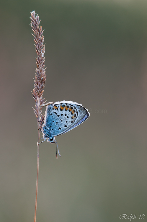 Silver Studded Blue / Heideblauwtje