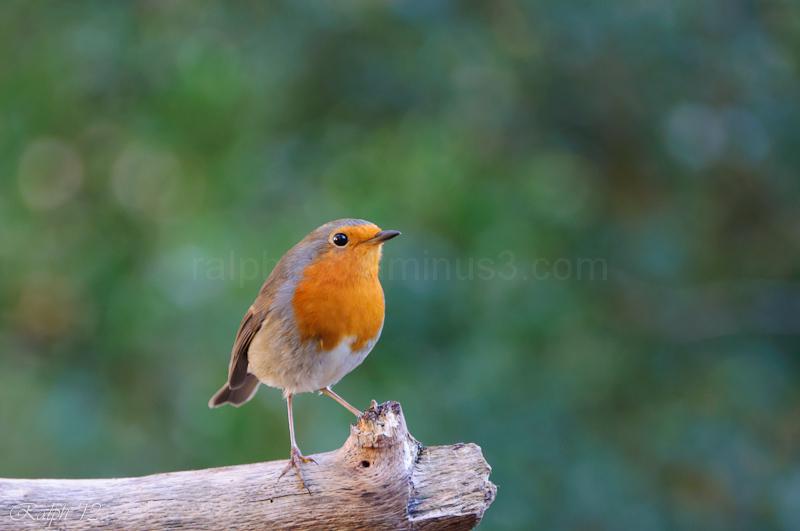 Robin / Roodborst