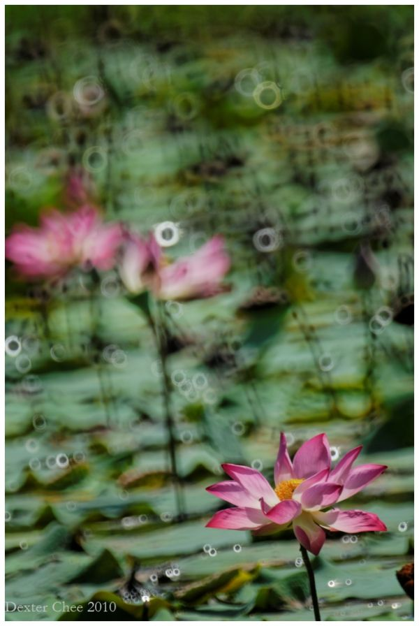 Lotus #8 - Chaos
