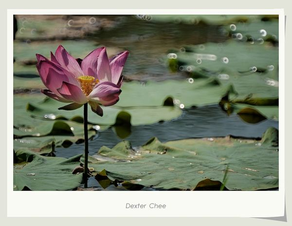 ~ I Love Lotus 爱荷 # 7 ~